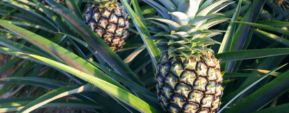 The-Pineapple