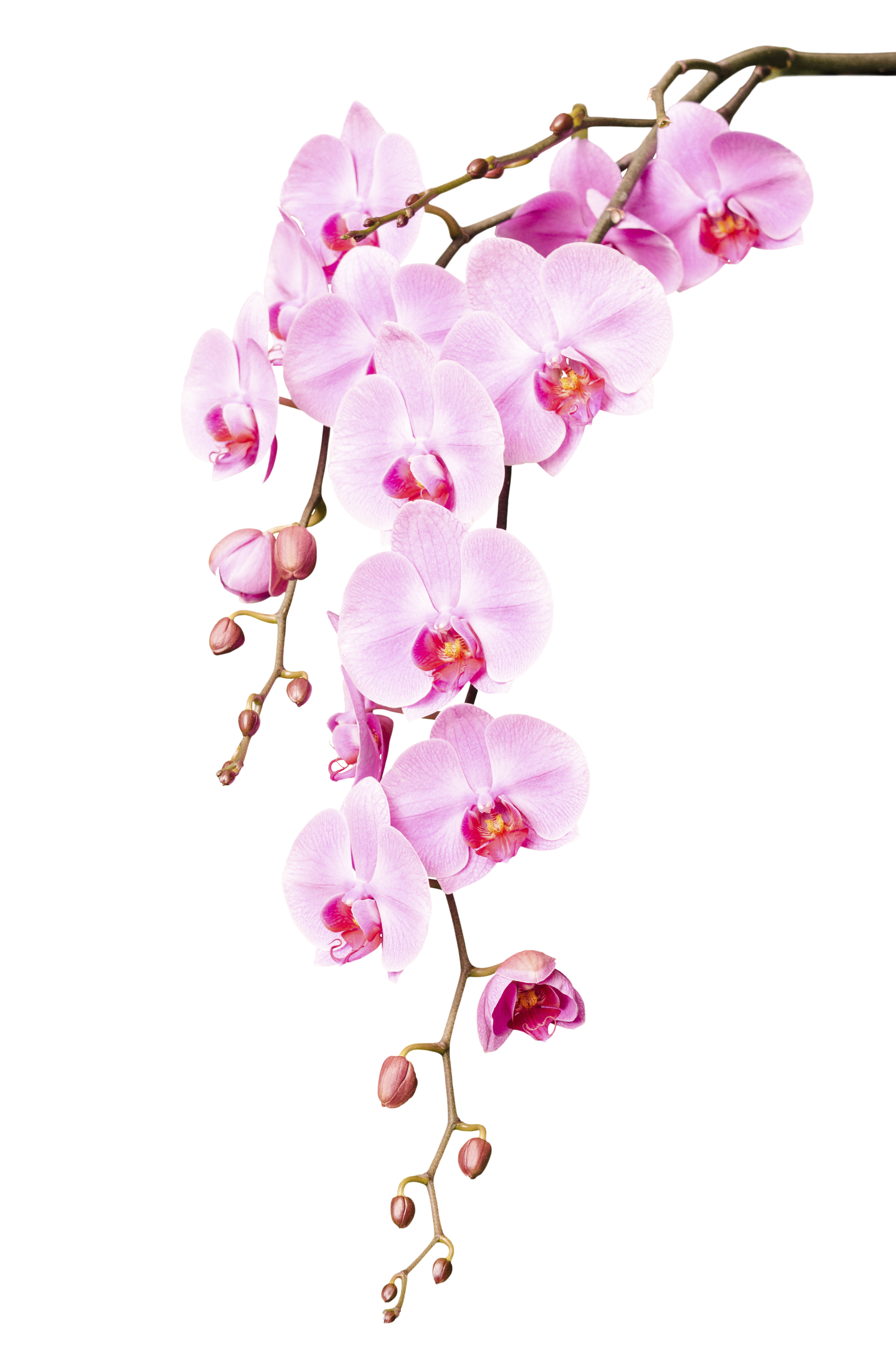 Home grown beauty william pitt sothebys realty the orchid symbolizes more than just a beautiful blooming flower that appears to be floating on air since ancient times this lovely blossom has been known izmirmasajfo